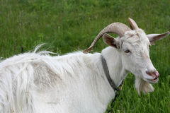White goat Royalty Free Stock Photo