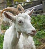 White goat_2 Royalty Free Stock Photos