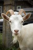 White goat. Adult white goat village with large horns Stock Image