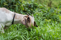 A white goat against grass Royalty Free Stock Images