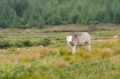 White goat animal Royalty Free Stock Photos