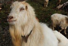 White goat stock photography