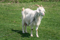White Goat Royalty Free Stock Image