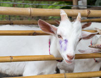 White Goat in Bamboo Fold Royalty Free Stock Photography