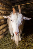 White goat in a barn. Hay paddock Stock Photos