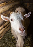 White goat in a barn. Hay paddock Royalty Free Stock Image