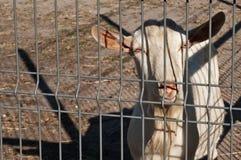White goat behind bars closeup Stock Photo