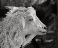 A white goat. A black and white image of a white goat with a black background stock image