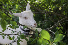 White goat between branches royalty free stock photo