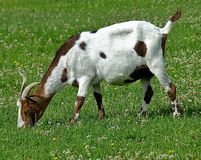 White goat with brown dots on a meadow stock image