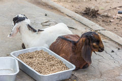 White goat and brown goat Stock Images