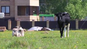 White goat and calf graze in green field near village. At sunny day stock footage