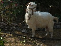 White goat. Can be used as background or wallpaper. commercial or editoral purpose. farm animal, mamal stock photo