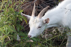 White goat chewing grass Stock Image