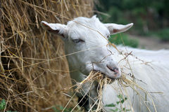 White goat chewing hay. White goat chewing dry hay Stock Photos