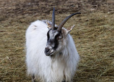 White goat chewing Royalty Free Stock Photo
