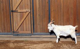 A white goat is standing beside a wooden wall. Stock Images