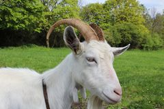 White goat from close up with green grass and trees behind. royalty free stock image