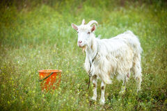 White goat Stock Photos