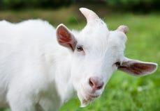 White goat, close up Stock Image