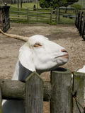 White goat. A close-up view of a white Goat waiting for feeding at a children's petting farm Stock Photography