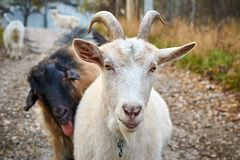 White goat and funny black goat with tongue out. White goat on first plan and funny black goat with tongue out on second plan. Closeup royalty free stock photos