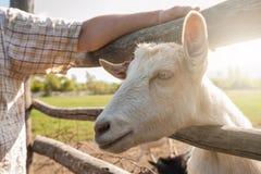 White goat closeup Royalty Free Stock Photos