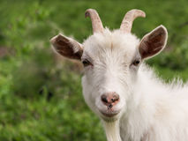 White goat closeup royalty free stock photography