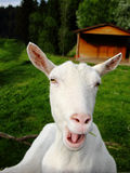 White goat complains Stock Images