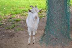 White goat. Goat in the corral near the tree Stock Photos