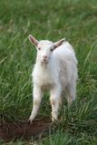 White goat Royalty Free Stock Images