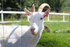 White goat looking through the fence royalty free stock images