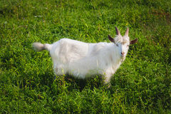 White goat. White domestic goat standing among the green grass royalty free stock images
