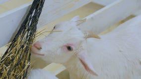 White goat eat hay in farm stock video