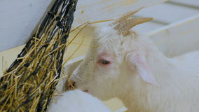 White goat eat hay in farm stock footage