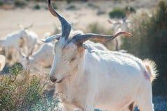 White goat eating grass Royalty Free Stock Image