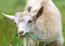 White Goat Eating Grass during Daytime Royalty Free Stock Image