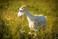 White goat eating grass on green meadow Royalty Free Stock Photo