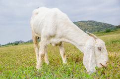 White goat eating grass on a green pasture. White goat on a green pasture royalty free stock photography