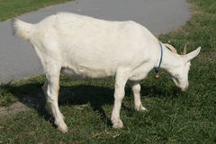 White goat eating grass. Natural feeding for goat in the farm Royalty Free Stock Photos