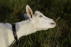 White goat eating grass Royalty Free Stock Photo