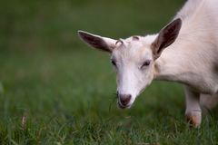 White Goat Eating Green Grass Stock Photos