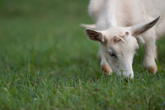 White Goat Eating Green Grass. White goat with small horns eating green grass while facing camera Stock Image