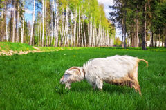 The white goat eats a green grass. Royalty Free Stock Images