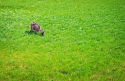 The white goat eats a green grass. Stock Photos