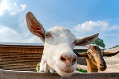 Free White Goat Face Close To The Lens On The Farm Royalty Free Stock Images - 184571599