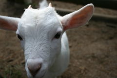 White goat face closeup. A white goat face up close up with earth in background Stock Images