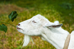 White Goat on a farm Royalty Free Stock Photos