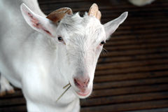 White goat at farm Royalty Free Stock Photography