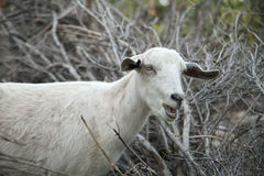A white goat at the farm. Stock Photography
